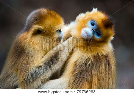 Two golden Monkeys Catching lice