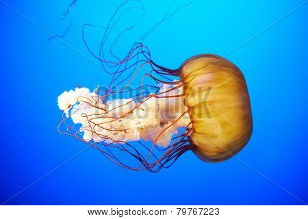 Orange Jellyfish (chrysaora Fuscescens)