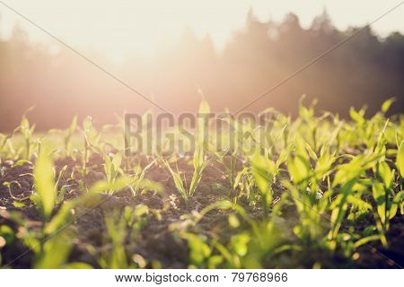 Field Of Young Corn Plants Backlit By The Sun