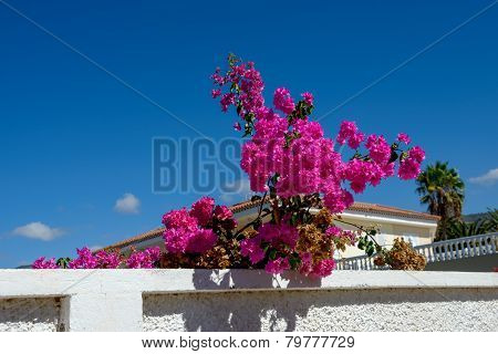 Bright  Leves Of Bougainvillea Bush That Is Like Flowers.