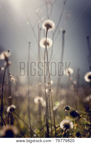 Dandelion Clocks With Bright Sun Flare For An Ethereal Nature Background