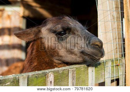 Animal Lama