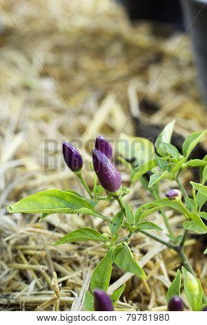 Purple Chili In The Nature
