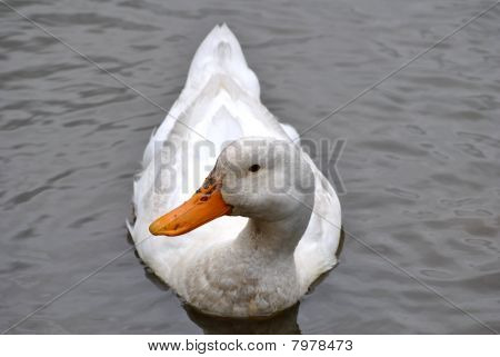 weiße inländischen Ente