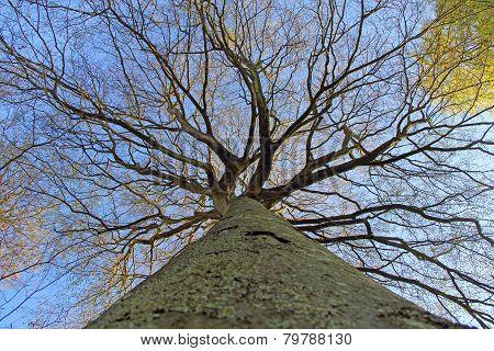 Big Tree Looking Upwards View