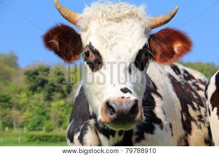 Cow On Green Field