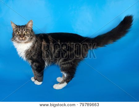 Longhaired Tabby And White Cat Standing On Blue