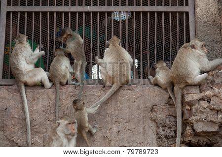 Group Of Monkey.