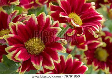 Beautiful red and yellow chrysanthemum flowers