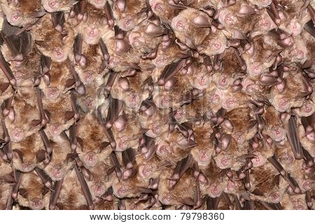 Colony Of Horseshoe Bats. Greater Horseshoe Bat Rhinolophus Ferrumequinum