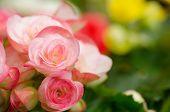 foto of begonias  - Close up of pink begonia blossom in botanic garden - JPG