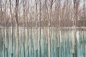 foto of flood  - White birches along Ticino river after a flooding  - JPG