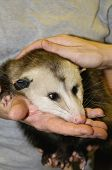 pic of possum  - A possum resting its head in a woman - JPG