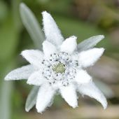 image of rare flowers  - Edelweiss in nature - JPG