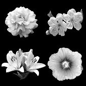 stock photo of black-cherry  - collage of black and white flowers rose cherry lily and hibiscus isolated on a black background - JPG