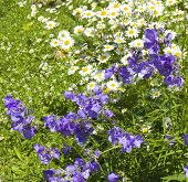 foto of oxen  - Blue bellflowers and white camomiles  - JPG
