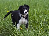 image of border collie  - Border collie puppy on grass close up shoot - JPG
