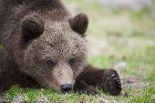 pic of bear cub  - A cute small bear cub - JPG
