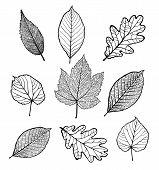 stock photo of linden-tree  - Set of Vector linden - JPG