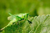 pic of locusts  - Summer on a green leaf sits a large locusts as also color leaf - JPG