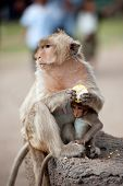 pic of baby-monkey  - Monkey mother and her baby sitting and eating corn on a floor Pagoda - JPG