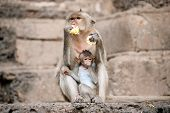image of baby-monkey  - Monkey mother and her baby sitting and eating corn on a floor Pagoda - JPG