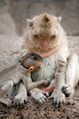pic of baby-monkey  - Monkey mother and her baby sitting on a floor Pagoda - JPG