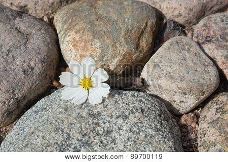 Cosmos flower on stones