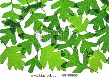 Hawthorn Leaves (Crataegus)