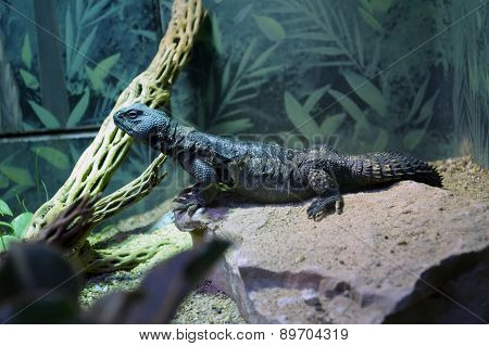 Blue Spiny-Tailed Lizard