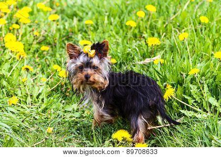 Yarn York Terrier