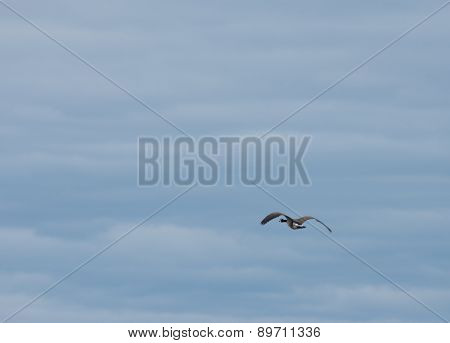 Canadian goose against a cloudy sky