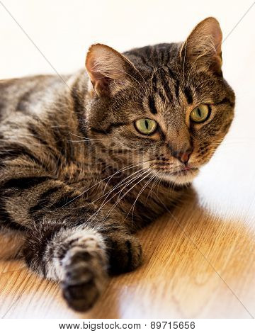 Tabby Cat Lying On The Floor And Looks