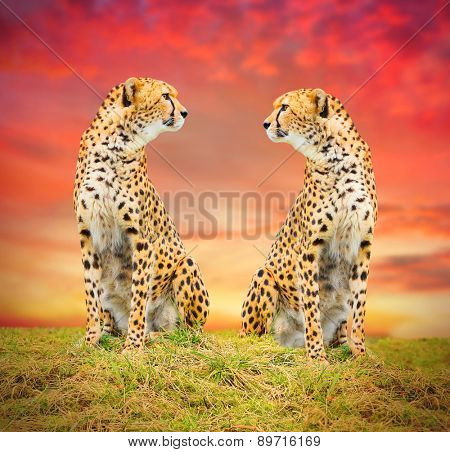 The Cheetah (Acinonyx jubatus) couple in african savanna. Warm filtered look.