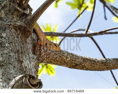 Chameleon On The Tree