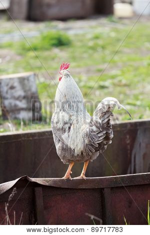Gray White Full Grown Rooster Standing On Farmyard