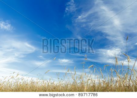 Cirrus Clouds And Azure Blue Sky Above Ripening Rye Cereal Ears Field