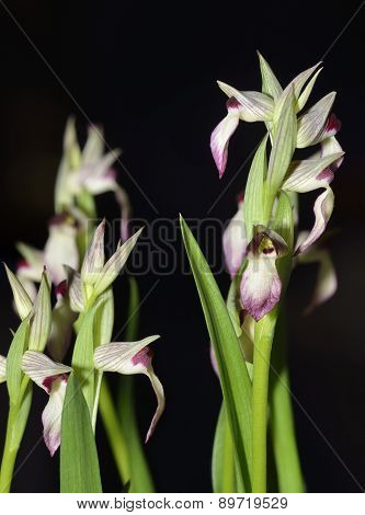 Tongue Orchid