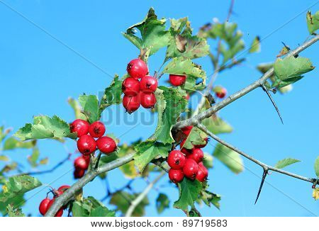 Red Hawthorn Berries On A Branch