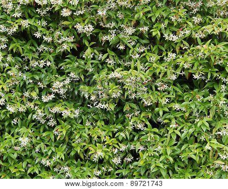 Honeysuckle Plant.