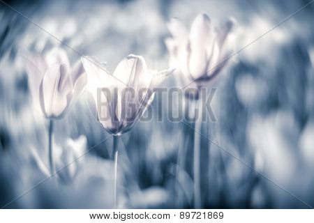 Beautiful Tulips On Field In Grey Tone.
