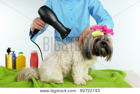 Hairdresser dried hair of Shih Tzu dog in barbershop isolated on white
