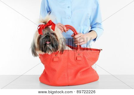 Cute Shih Tzu in red female bag isolated on white
