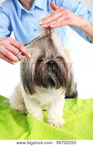 Cute Shih Tzu and hairdresser in barbershop, closeup
