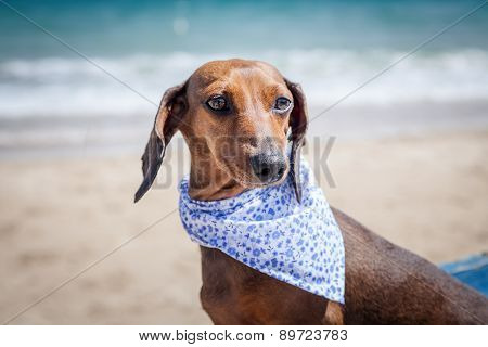 Red Dachshund Dog