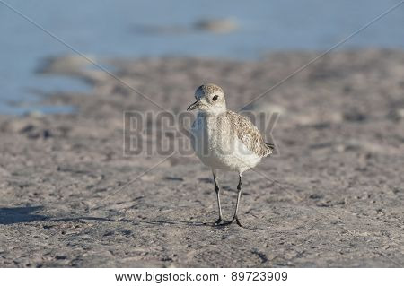 Black-bellied Plover Juvenile