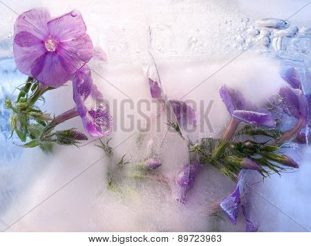 Frozen   Flower Of         Phlox