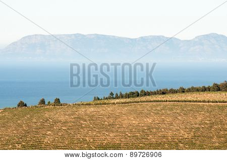 Vineyards Against Backdrop Of False Bay And Kalk Bay Mountains