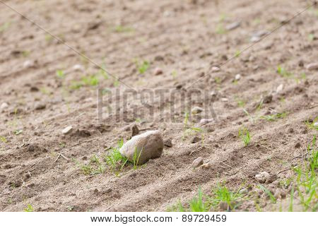 Cultivated Field With Rocks