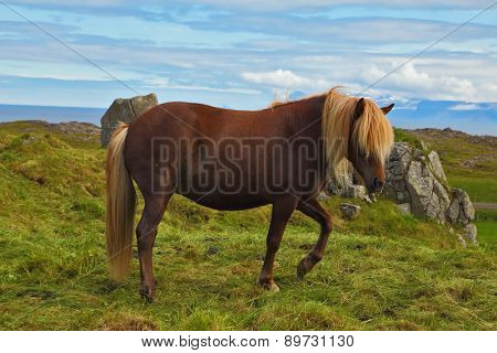 Iceland in July. Farmer sleek horse. A beautiful horse grazing in a meadow near the farm